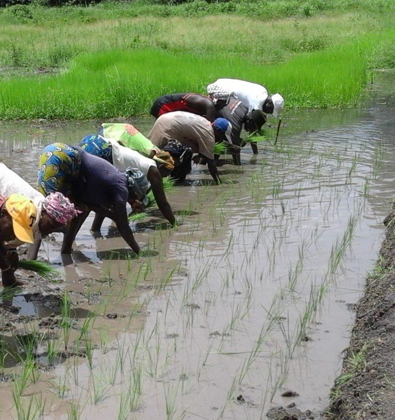 champ-de-riz-de-demonstration-des-techniquesvillage-de-sintchian-sutu.-1