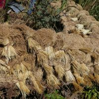 semences-riz-creole